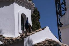 Pavo real en la capilla ortodoxa griega en la isla del ratón en la isla griega de Corfú Imagen de archivo libre de regalías