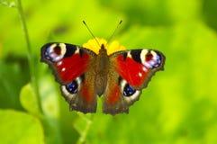 Pavo real en macro de la flor Imagen de archivo libre de regalías