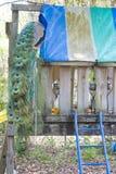Pavo real en patio Imagen de archivo
