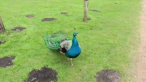 Pavo real en prado verde almacen de video