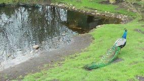 Pavo real en prado verde cerca del lago metrajes