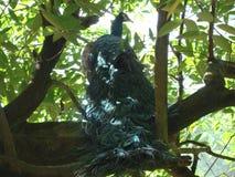 Pavo real en un árbol fotografía de archivo
