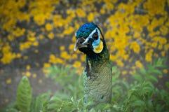 Pavo real en un parque zoológico ruso fotografía de archivo