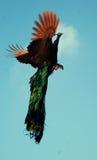 Pavo real en vuelo Imagen de archivo libre de regalías