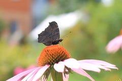 Pavo real europeo de la mariposa (Inachis io) en la flor del rudbeckia Imagenes de archivo
