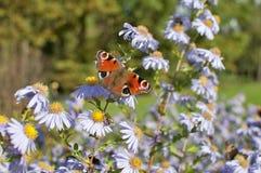 Pavo real europeo que se sienta en la floración de la manzanilla Fotografía de archivo