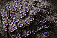 Pavo real-faisán, bicalcaratum grises de Polyplectron, detalle del primer de las plumas rosadas del plumaje, grises y azules Anim imagen de archivo libre de regalías
