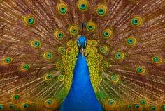 Pavo real hermoso Fotografía de archivo libre de regalías