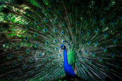 Pavo real hermoso con las plumas Imagen de archivo libre de regalías