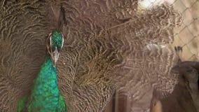 Pavo real hermoso con las plumas hacia fuera metrajes