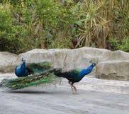 Pavo real hermoso, peafowl, pájaro de Juno que camina en parque imagen de archivo libre de regalías
