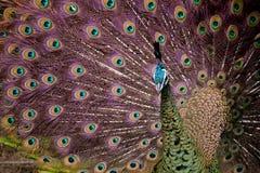 Pavo real hermoso que demuestra apagado el plumaje Foto de archivo libre de regalías