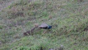 Pavo real indio que come en el prado - bosque del Estado de Gorumara metrajes
