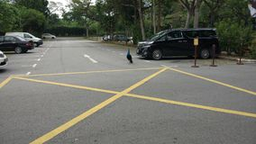 Pavo real libre en una parada de taxis en Singapur imagen de archivo libre de regalías