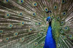 Pavo real magnífico del parque zoológico de Paignton fotografía de archivo libre de regalías