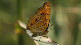 Pavo real Pansy Butterfly Fotografía de archivo libre de regalías