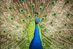 Pavo real Stock Image