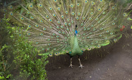 Pavo real - Peacock Royalty Free Stock Image