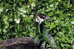 Pavo real, peafowl entre el verde Foto de archivo