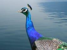 Pavo real por el lago Imagenes de archivo