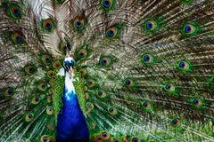 Pavo real que muestra apagado su cola brillante Foto de archivo libre de regalías