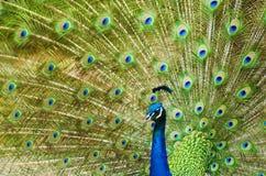 Pavo real que muestra sus plumas hermosas Fotografía de archivo