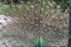 Pavo real que muestra sus plumas Pavo real hermoso Pavo real masculino que exhibe sus plumas de cola Separe las cola-plumas del p foto de archivo libre de regalías