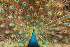Pavo real que muestra sus plumas XL Imagen de archivo
