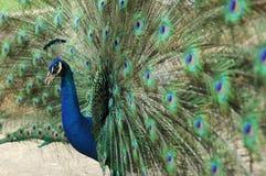 Pavo real verde Foto de archivo libre de regalías
