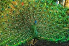 Pavo real verde con una cola hermosa foto de archivo libre de regalías