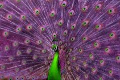 Pavo real verde y púrpura abstracto Foto de archivo
