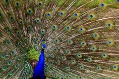 Pavo real vibrante con las plumas separadas al aire libre imagen de archivo