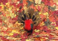 Pavo solitario Foto de archivo libre de regalías