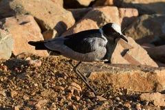 Pavoncella, riserva di caccia di Madikwe Fotografie Stock Libere da Diritti