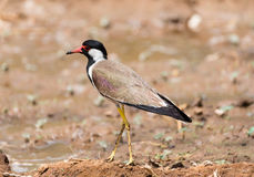 Pavoncella Rossa-wattled Immagine Stock