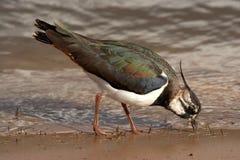 Pavoncella - vanellus del Vanellus Fotografia Stock Libera da Diritti