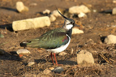 Pavoncella - vanellus del Vanellus Fotografia Stock