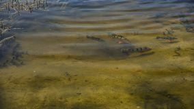 Pavone Bass Swimming Together Immagini Stock Libere da Diritti