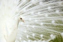 Pavone bianco. fotografia stock