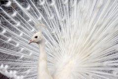 Pavone bianco Fotografia Stock Libera da Diritti