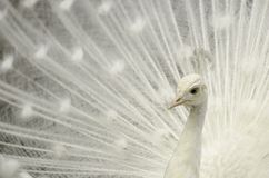 Pavone bianco Fotografia Stock