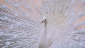 Pavone bianco Fotografie Stock