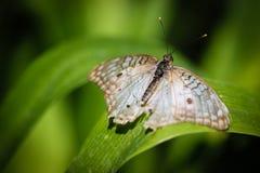 Pavone bianco Anartia Jatrophae Fotografia Stock Libera da Diritti