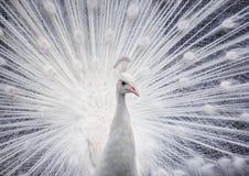 Pavone bianco che ostenta la sua coda aperta immagine stock