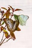 Pavone bianco e grandi farfalle bianche del sud sul ramo insieme Fotografia Stock Libera da Diritti