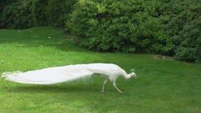 Pavone bianco su prato inglese verde stock footage