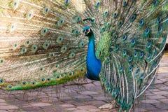 Pavone blu Fotografie Stock Libere da Diritti