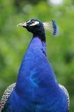 Pavone blu Immagini Stock Libere da Diritti