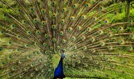 Pavone blu che sparge le sue piume colorate Immagini Stock