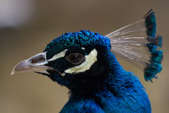 Pavone blu piacevole Fotografia Stock